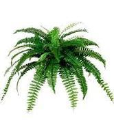 Fern Plants, picks