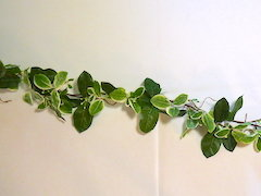 Pittosporum Garland