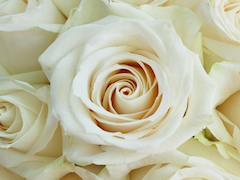 Vendela Cream Rose