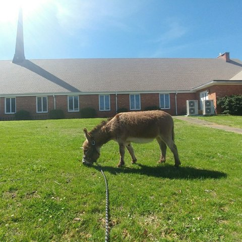 Scooby the Miniature Donkey