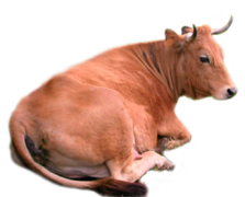 Miniature Cow Rental