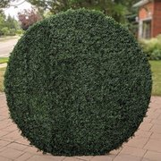 Round Boxwood 8ft x 8ft