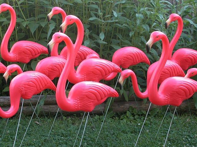 Flock of famous original flamingos