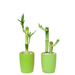 Lucky Bamboo Sticks