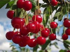 Natural Cherry Tree Top Flavored Snow Cone
